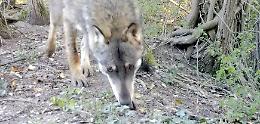 VIDEO Lupo immortalato all'interno della riserva naturale Le Bine