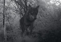 FOTO Lupo immortalato nella riserva naturale Le Bine