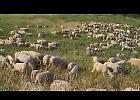 VIDEO L'immunità di gregge... a Cremona
