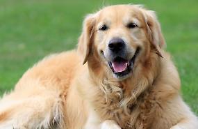 I cani di razza finiscono nel mirino dei ladri