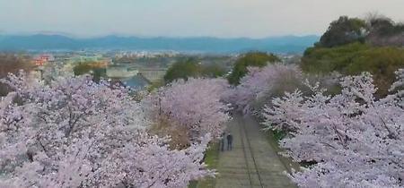 Giappone, la fioritura dei ciliegi in timelapse: le stupende immagini dal drone