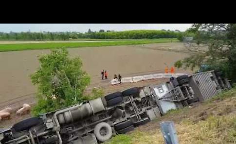Camion carico di maiali si ribalta: il video dei soccorsi